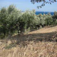 olive oil orchard